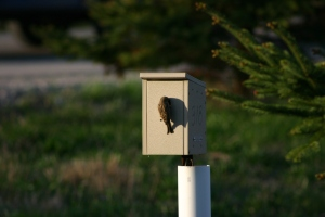 Tree Swallows nesting at McKinley Gate